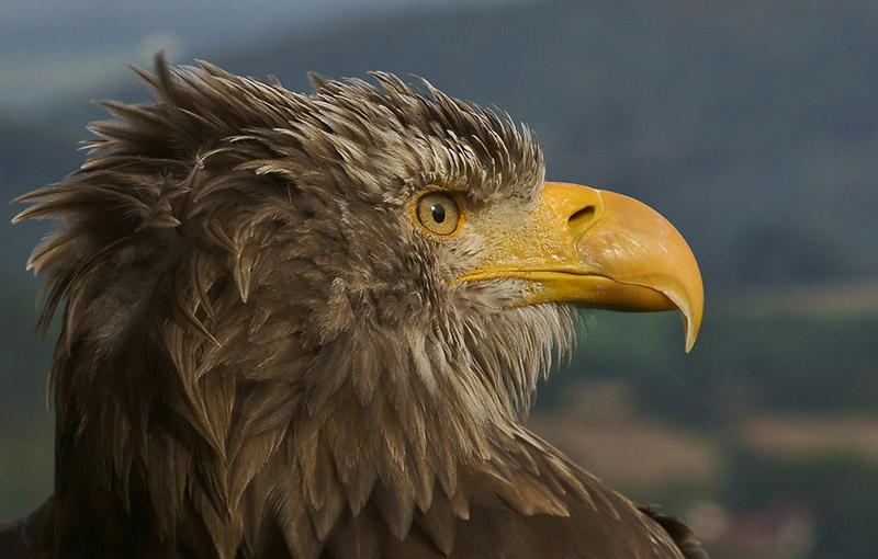 eagle-on-a-mountain