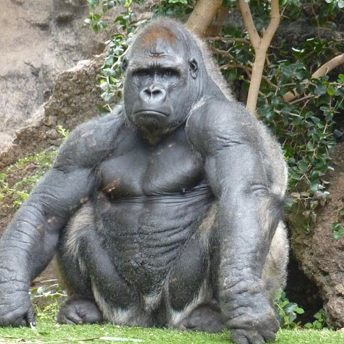 adult-gorilla-protein