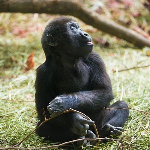 baby-gorilla-protein
