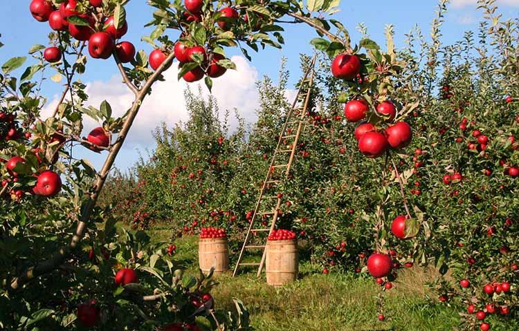 Apple Living Food Energy