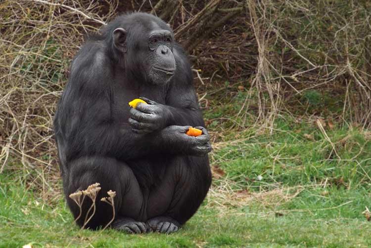 Gorillas Are Natural Vegans