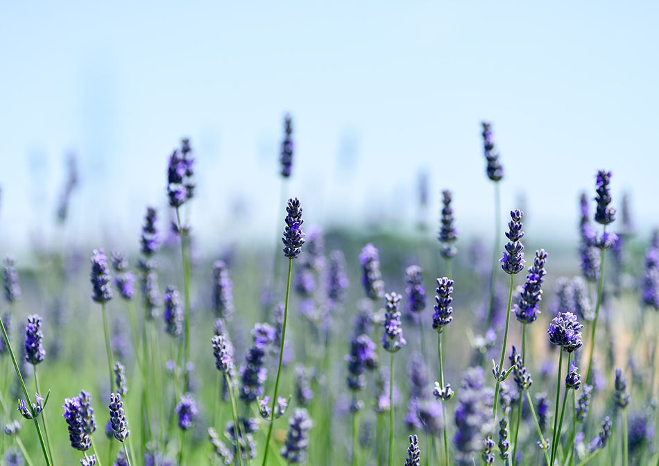 Herbal Cures Anxiety Depression Lavender