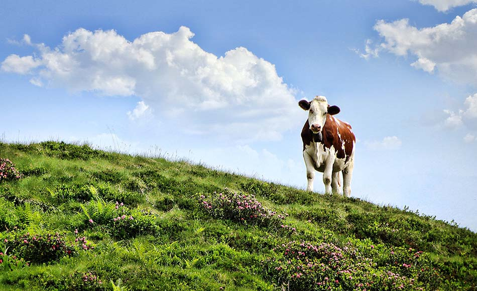 Red Meat From Cows Not Fit For Human Consumption