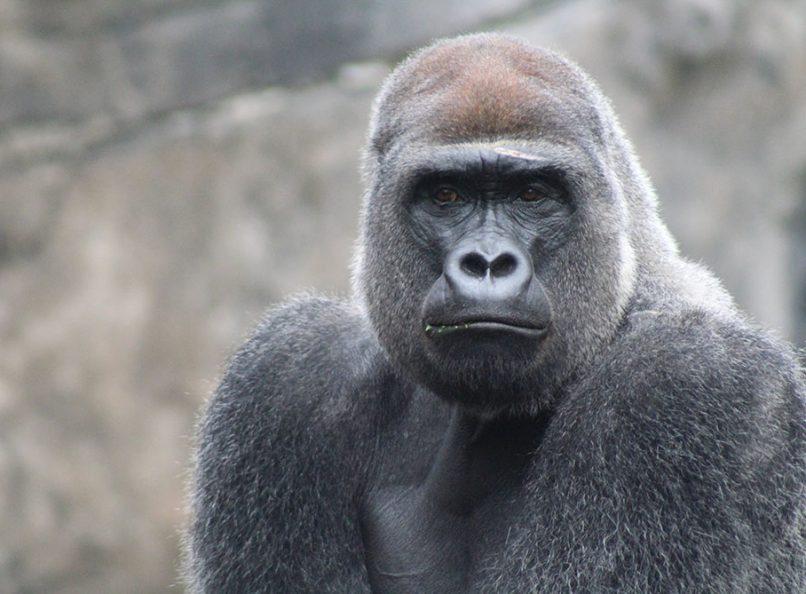 Gorilla Diet Optimal Human Nutrition